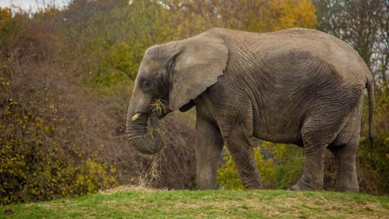 The first in the world: Elephants travel thousands of kilometers by plane and the reason...