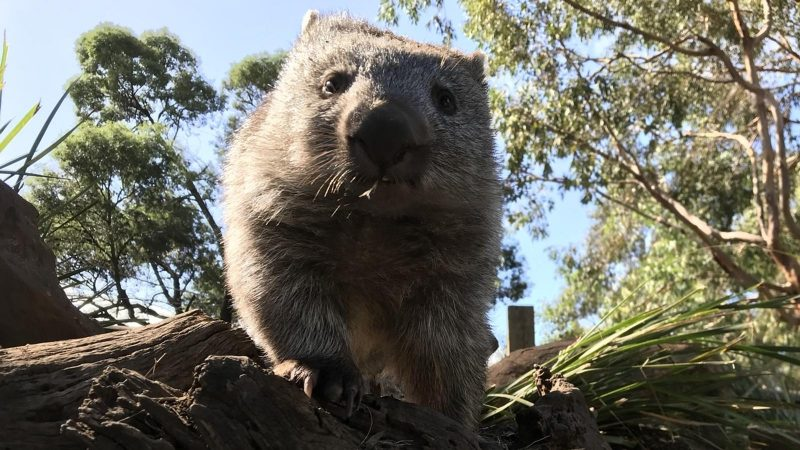 Puzzle solved: this is how wombat dung is made