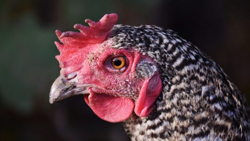 Searching for a chicken heart - soon saving chickens in Landshut