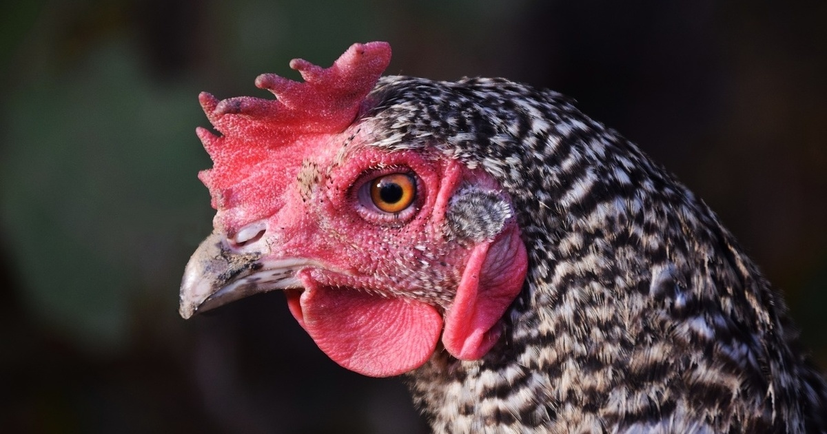 Searching for a chicken heart – soon saving chickens in Landshut