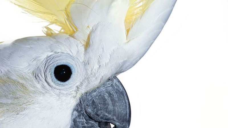 The Kings of Transcription: How does a cockatoo learn from its species?