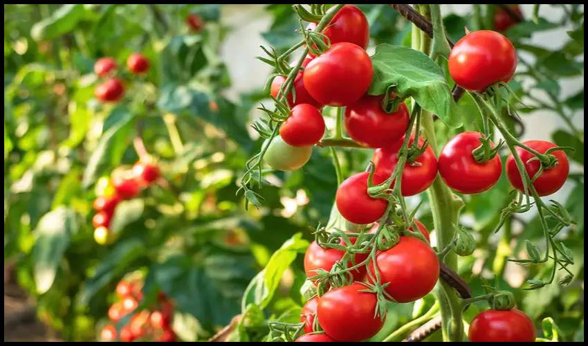 The nervous system in tomatoes: The nervous system in tomatoes .. a warning of insect attack in advance!