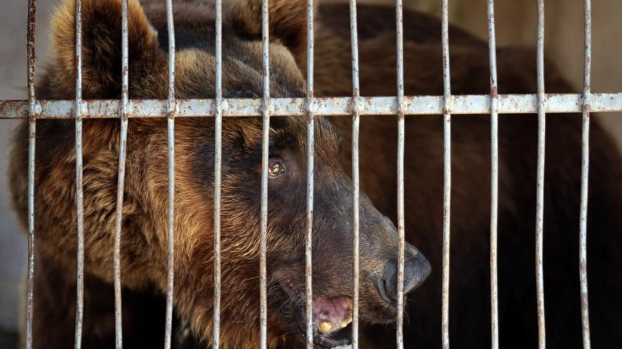 Two bears lived in cages for years in Lebanon, and now they will be released in the United States