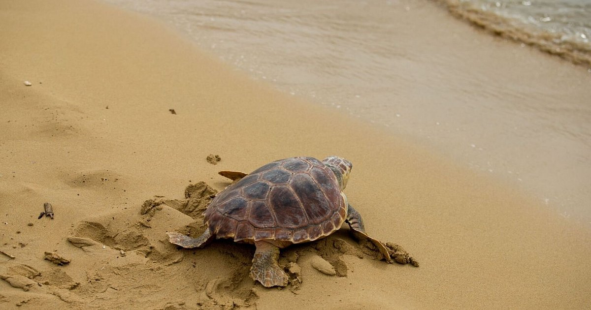 Study: Plastic waste as a trap for baby sea turtles |  Sciences
