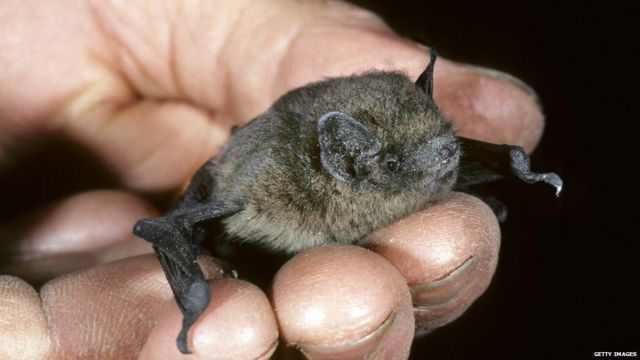 A picture of a bat Nathusius pipistrel