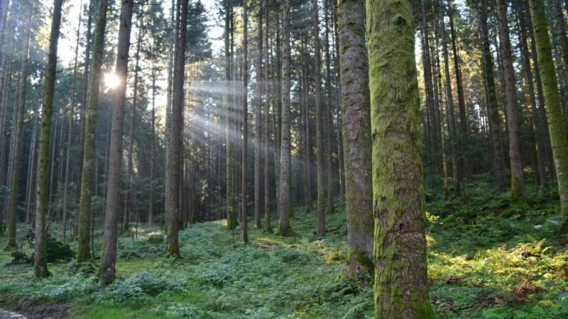 The reproductive capacity of trees decreases with age