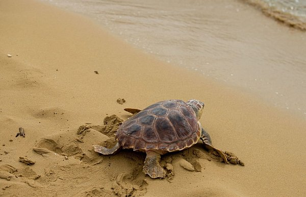 Study: Plastic waste as a trap for baby sea turtles