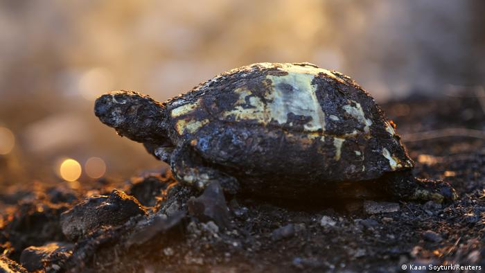 Turtle badly damaged by fire
