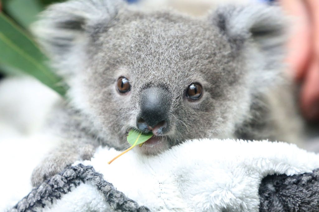 The number of koalas in Australia is declining rapidly