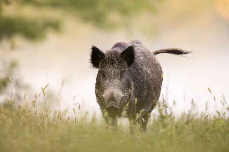 Wild Boar Invasion – AgroNotizie