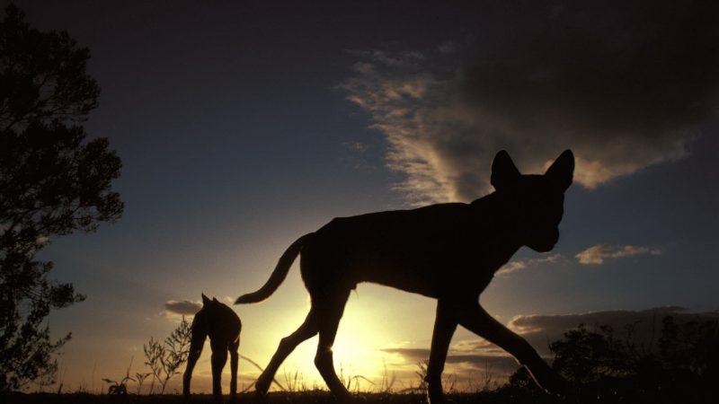 Australia: The Mysterious Dingo - Science Spectrum