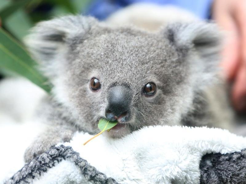 The number of koalas in Australia is declining rapidly |  free press
