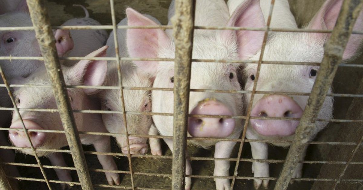 UK supply problems: A farmer had to slaughter hundreds of pigs due to a shortage of butchers